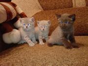 Продаются британские котята.